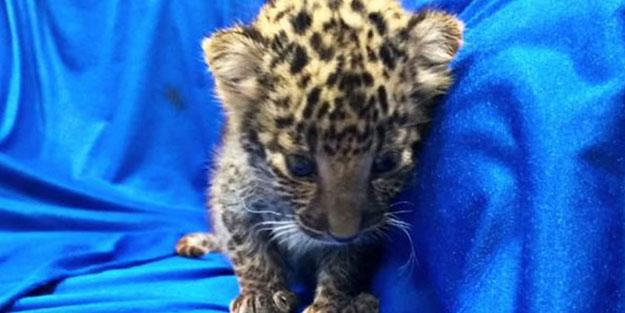 Leoparı poşete sarılı halde buldular!