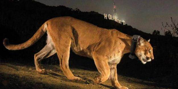 Los Angeles'te dağ aslanı dehşeti! Köpeğini kurtarmak isteyen kadın aslana yumruk attı