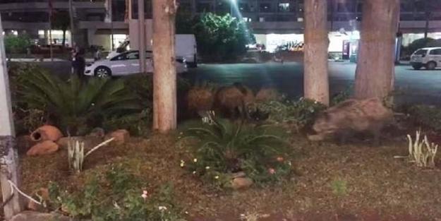 Marmaris'in merkezine domuz sürüsü indi!