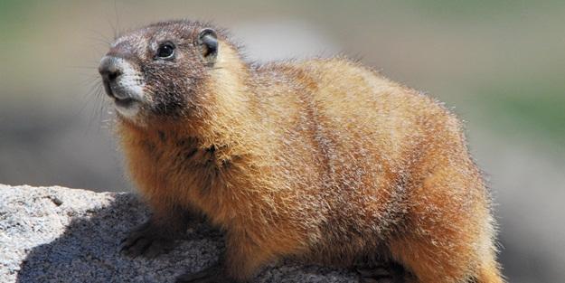 Bölgede karantina ilan edildi! Marmot eti yediler, olanlar oldu