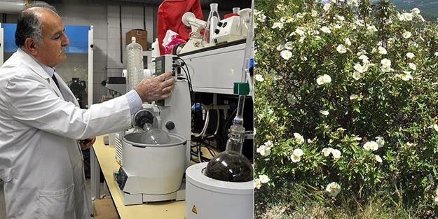 O bitki artık kanser tedavisinde kullanılacak!