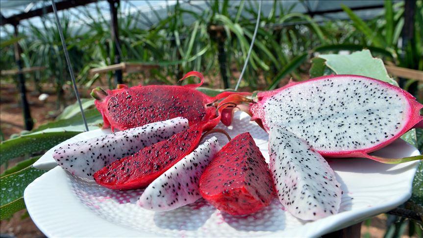 Mersin'de alternatif ürün olarak yetişen Ejder meyvesi 'yok sattı'