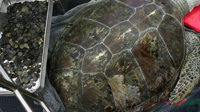 Midesinden 915 adet bozuk para çıkan kaplumbağa öldü