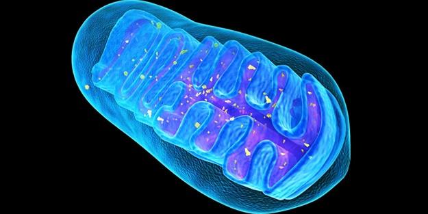 Mitokondri ne işe yarıyor?