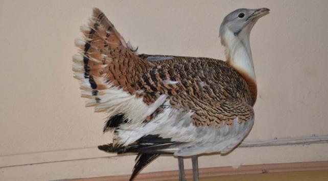Nesli tükenmekte olan toy kuşu koruma altına alındı