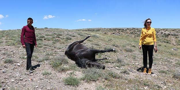 Kovboy Muhtar'ın atı karnındaki yavrusuyla öldürüldü