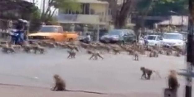 Ölümcül virüsün vurduğu kenti maymunlar bastı
