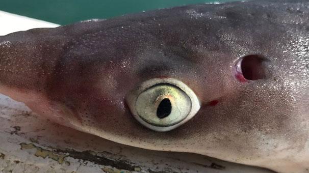 Ordu'da oltaya takılan köpek balığı korkuttu