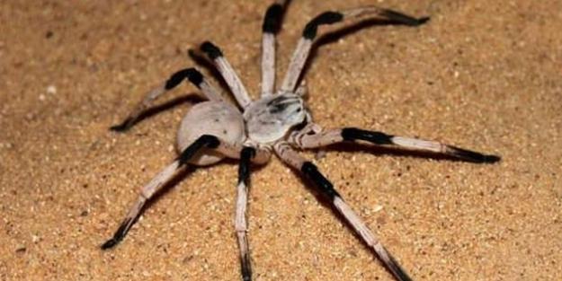 Örümcek öldüren adamı karısını öldürüyor sandılar