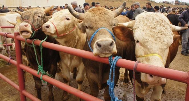 Ot tüketen hayvanlarda görülen hastalık: Şarbon