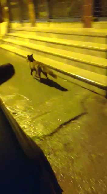 (Özel) Aç kalan tilki Pendik'e indi