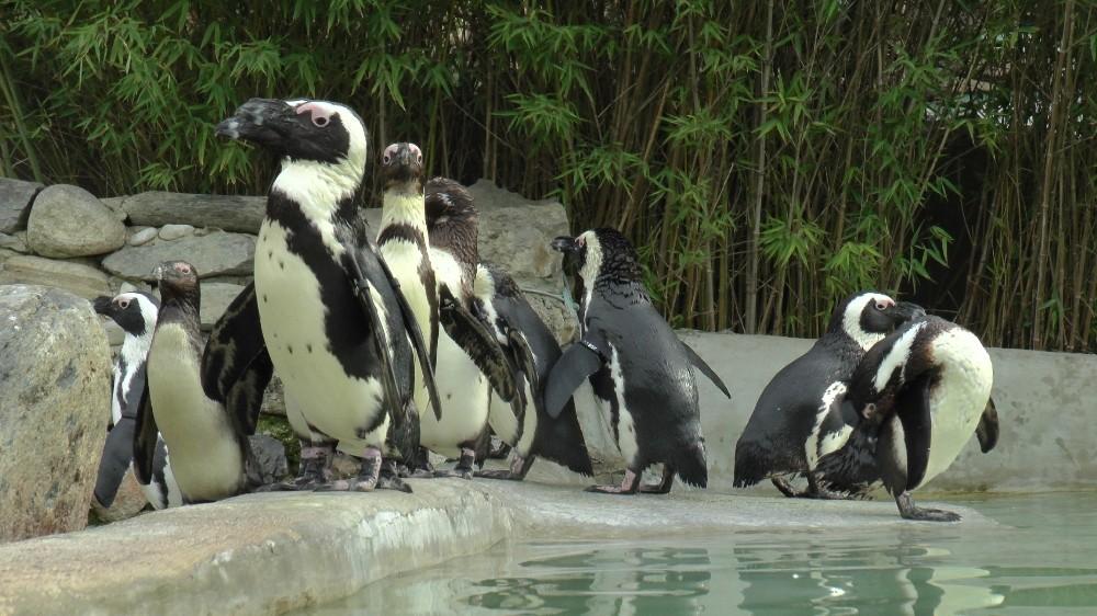 (ÖZEL) Hayvanat bahçesinde penguenlere çipli takip
