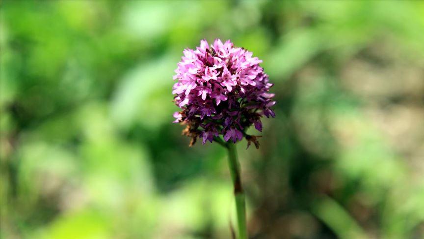 Özel izinle dikilen salep orkidesi Samsunlu üreticilerin yüzünü güldürüyor