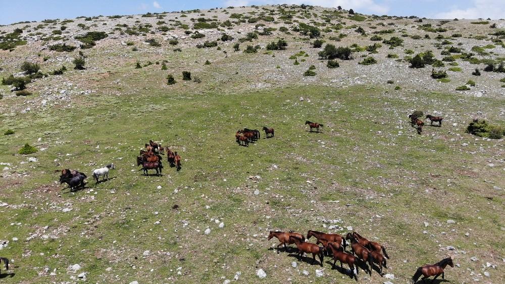 (Özel) Spil Dağı'nın özgür bekçileri yılkılar havadan görüntülendi