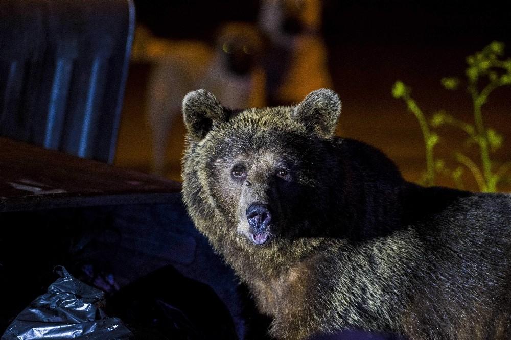 (Özel) Uludağ'da yiyecek bulmak isteyen ayılar yerleşim bölgesine indi