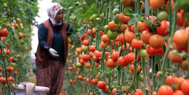 Rusya'dan 'domates' adımı! Artık Türkiye'den...