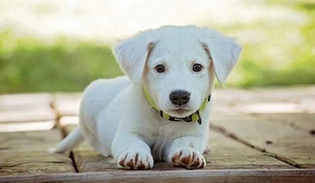 Sabıkası bulunana köpek verilmeyecek