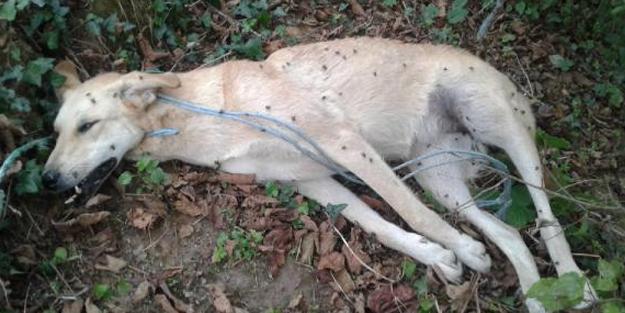 Sakarya'da vahşet! Köpeği, tavuklarını yediği için ağaca iple asıp öldürdü