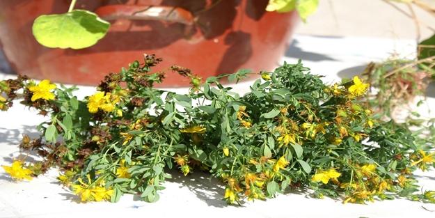 Sarı kantaron yağı faydaları saymakla bitmiyor