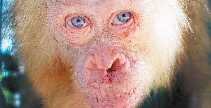Sarışın orangutan özgürlüğüne kavuşacak