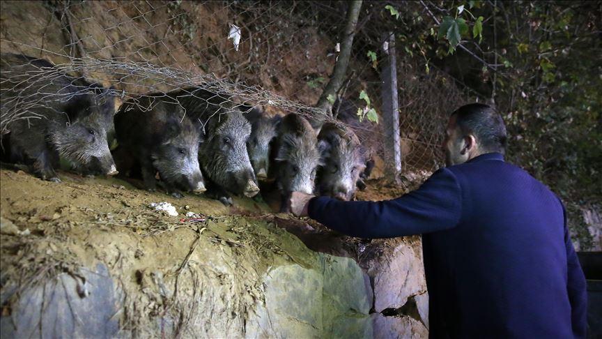 Sarıyerli vatandaşlar, mahallelerine inen yaban domuzlarını besliyor