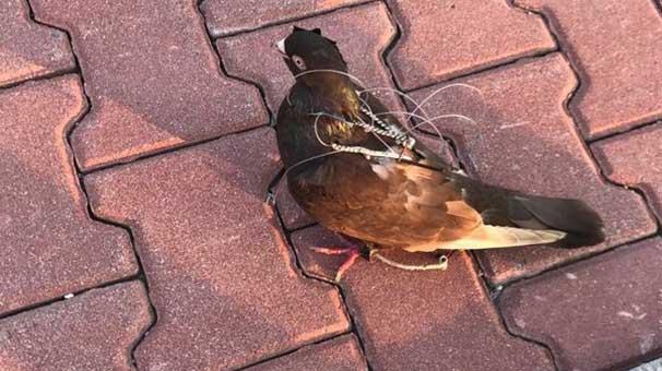 Silivri Cezaevi çevresinde haberci kuş yakalandı