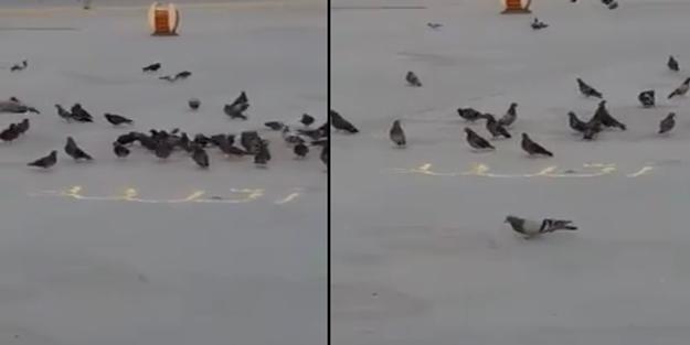 Subhanallah! Kuş yeminden 'Allah' yazdılar fakat kuşlar o yazıya yaklaşmadı...