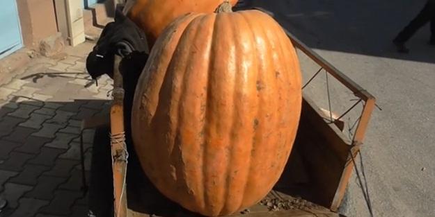 Tarlada yetişen kabak bakın kaç kilo!