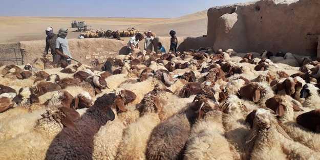 Terör örgütü PKK'dan temizlenmişti! Bölgede binlerce hayvan aşılandı