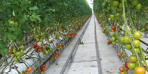 Topraksız tarımdan 650 ton ürün alınacak
