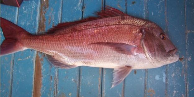 Trança Balığı nedir? Trança Balığı nasıl pişirilir? Trança Balığı pişirme tarifi