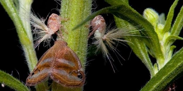 Türkiye biyolojik saldırı altında! 'Vampir kelebek' alarmı!