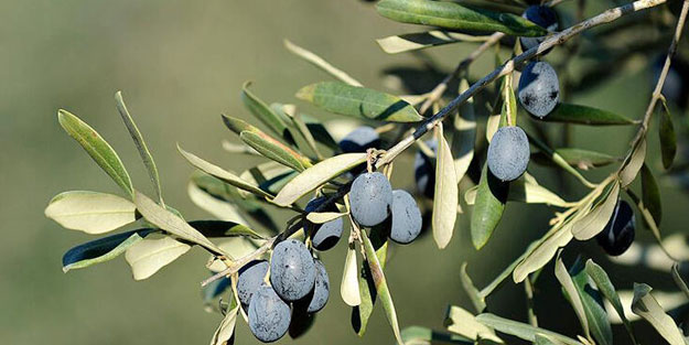 Türkiye zeytin ihracatında rekor kırdı!