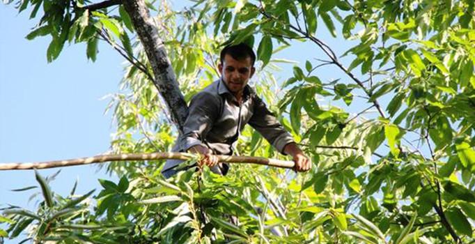 Türkiye'de kestane üreticileri aylık 9000 liraya çalışacak işçi arıyor