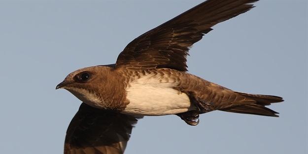 Türkiye'de sık sık görülmeye başlandı... İşte esrarengiz kuş 'Ebabil'in hikayesi ile ilgili görsel sonucu
