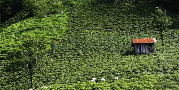 Türkiye'den 8 ayda 110 ülkeye 11.9 milyon dolarlık çay ihraç edildi