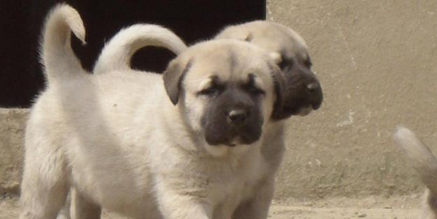 Türkiye'ye ait köpek türleri