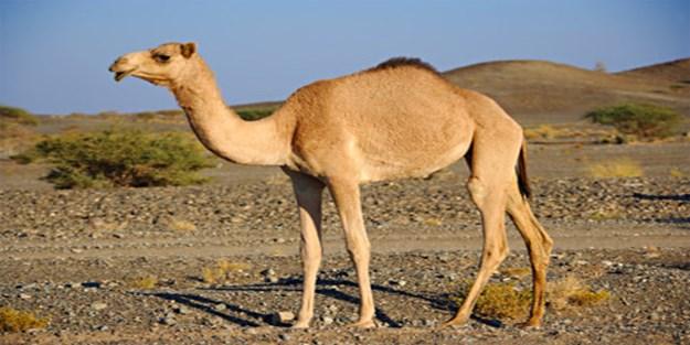 Türkmendağı'nda Ayasofya için adanan deve kesildi