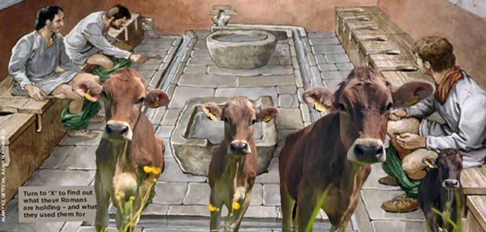 'Tuvalet kültürü'nü Osmanlı'dan öğrenen Almanlar şimdi ineklere tuvalet eğitimi vermeye başladı!