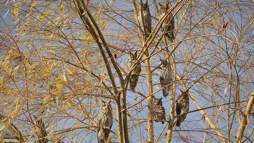 Üniversite kampüsündeki ağaç, baykuş kreşi gibi