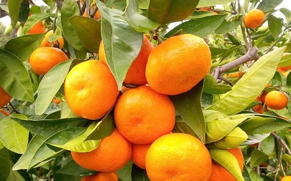 Uzak Doğu menşeli mandalina nedir? Bulmacalarda çıkan mandalina hangisi?