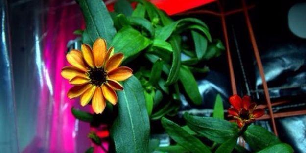 Uzay'da yetişen ilk çiçek