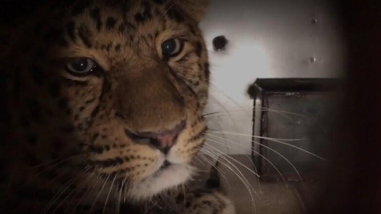 Vücudunda tümör bulunan leopar ameliyat için Moskova'ya götürüldü
