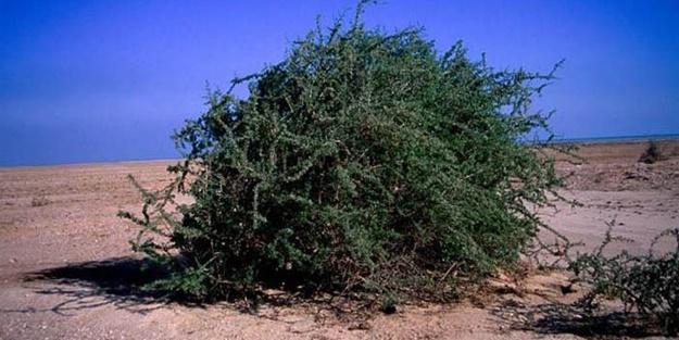 gargat ağacı ile ilgili görsel sonucu