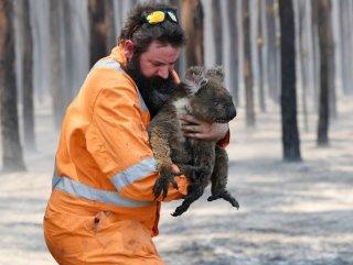 Yangından kurtulan koala, su içerken boğularak öldü