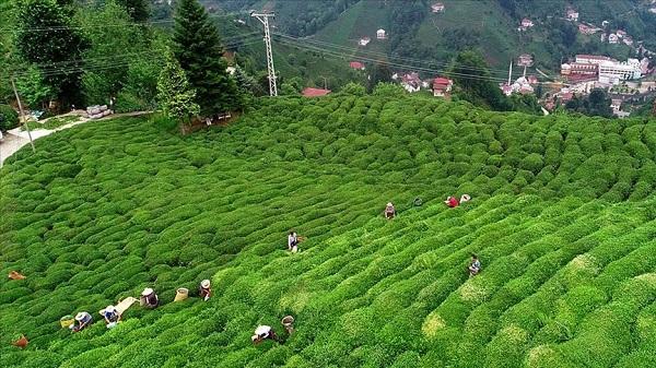 Yaş çay alım fiyatı ne kadar oldu 2021