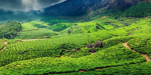 Yaş çay fiyatı belli oldu mu? | Yaş çay taban fiyatı 2020