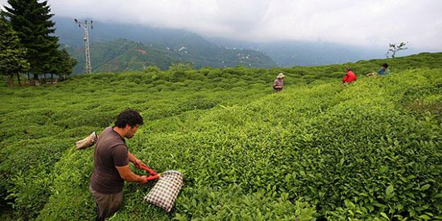 Yaş çay fiyatı belli oldu mu? | Yaş çay taban fiyatı