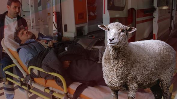 Yeni doğum yapan koyunun sütünü içtiler ve hastanelik...