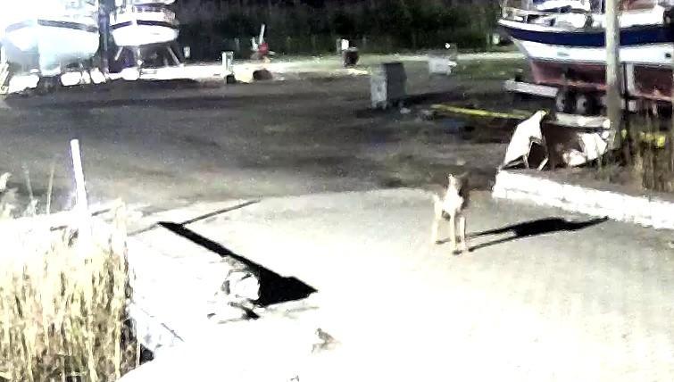 Yerleşim yerine inen kurt güvenlik kameralarına takıldı